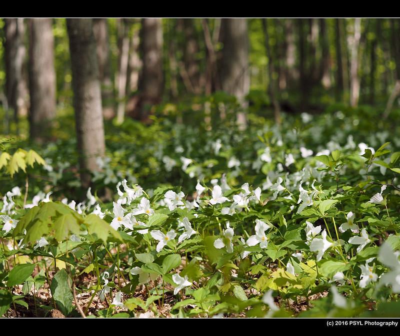 White Trilliums (Trillium grandiflorum)