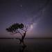**The Aussie Wanaka Tree**