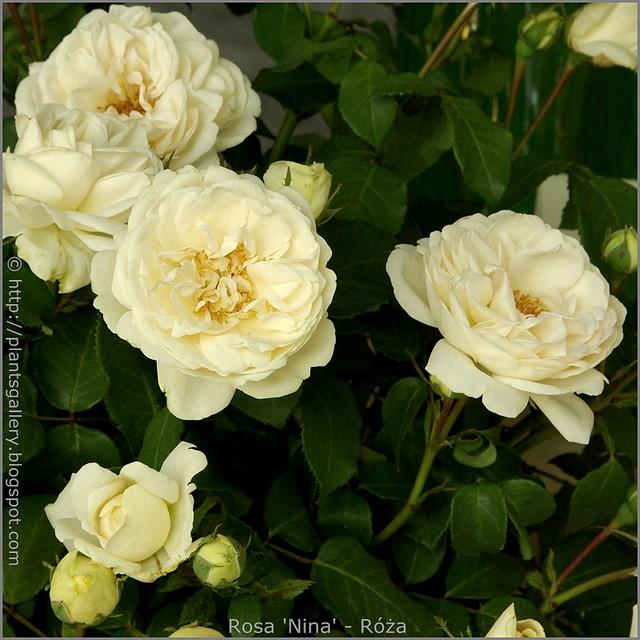 Rosa 'Nina' - Róża 'Nina'