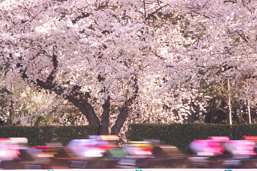 Sakura, Horse race