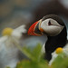 Atlantic Puffin by Scott Ableman