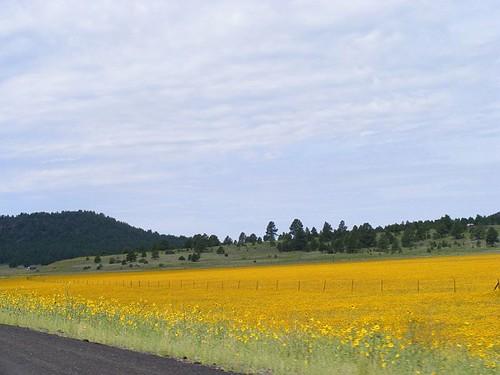 Mustard Blooms2