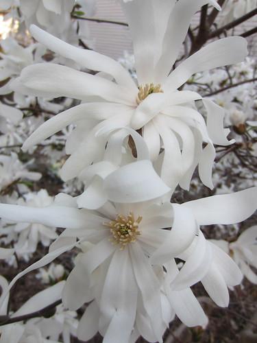 Wonderous Magnolia