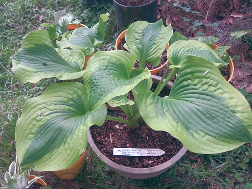 Hosta 'Spinach Souffle'