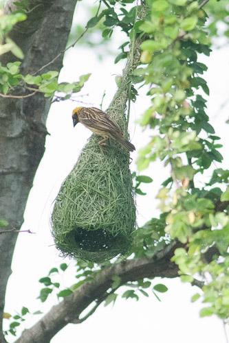 male Asian Golden Weaver