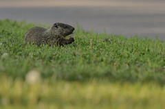 Woodchuck_7170.jpg by Mully410 * Images