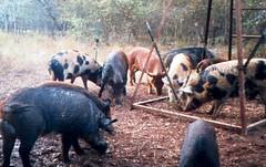 New feral hog online