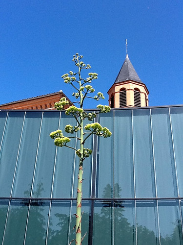 Agave weberi - Jardin botanique Henri-Gaussen