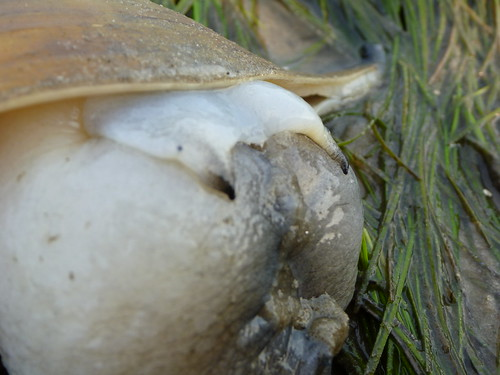busycon eating moon snail