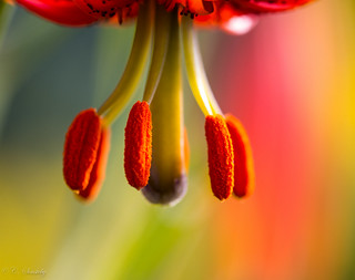 Stamen of an orange Lily