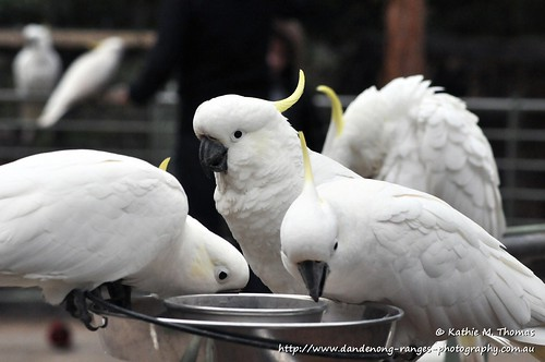 188-366 Sulphur Crested Cockatoo