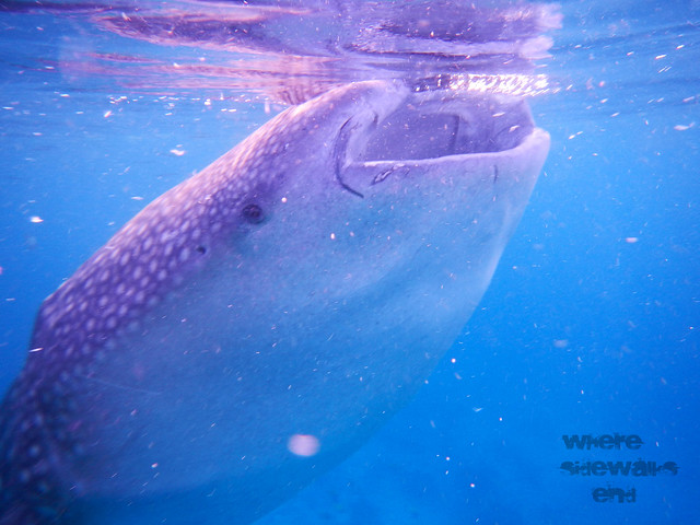 Whale Shark feeding on tiny shrimps