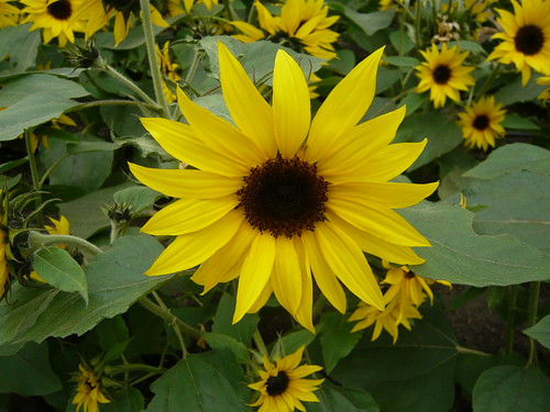 Eden Project sunflower