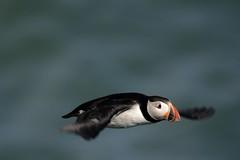 animal, puffin, wing, fauna, close-up, beak, bird, seabird,