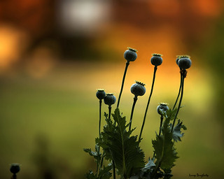 Poppies ~ in the light of setting sun!  :-)    D800