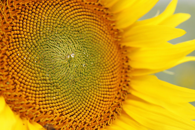 Close up of a sunflower centre