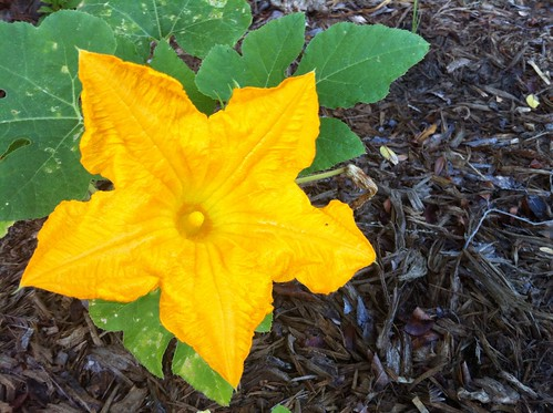pumpkin plant flower wwwpixsharkcom images galleries