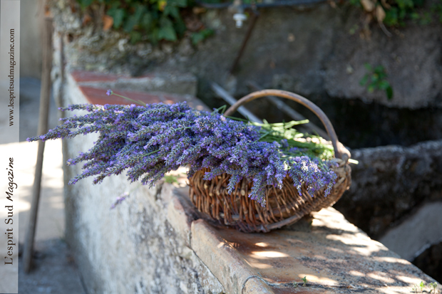 Lavenders from Provence