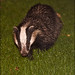 Badger - Hampshire