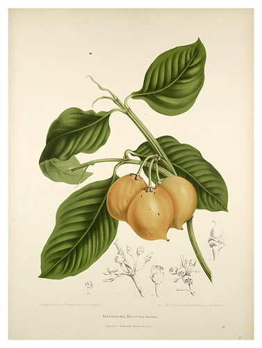 001-Tamarindo-Fleurs, fruits et feuillages choisis de l'ille de Java-1880- Berthe Hoola van Nooten