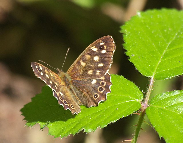 DSC_4233 Speckled Wood