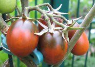 Tomate Black Plum