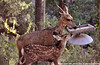 Mule deer in Los Alamos