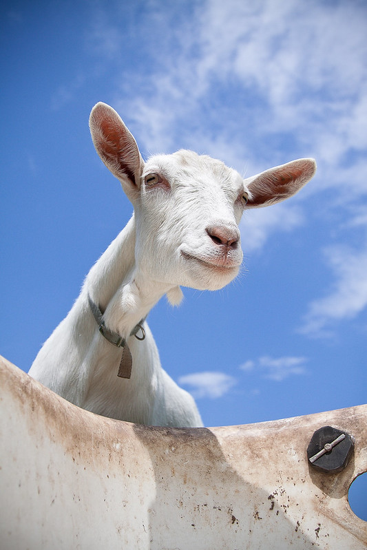 Goat-2748