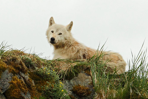 White Wolf by Ross Forsyth - tigerfastimagery