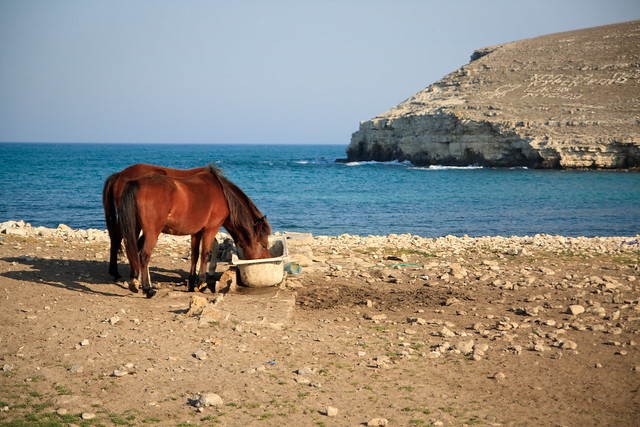 Horses drinking by the sea