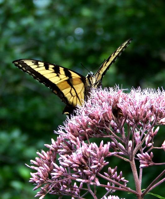 tiger swallowtail on Joe Pye weed