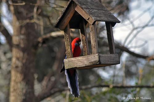 Crimson Rosella on feeder