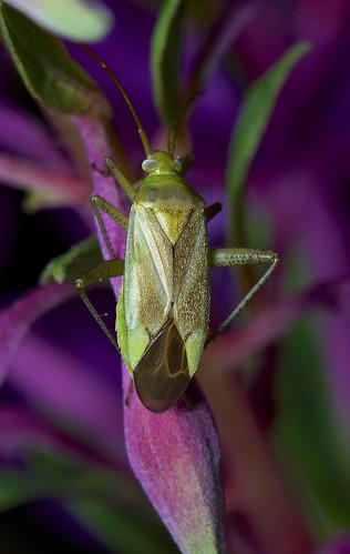 "Common Green Capsid ""Lygocoris pabulinus"""
