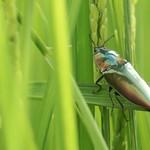 豐濱水梯田上的生物:保育類物種彩豔叩頭蟲。(圖片來源:林務局)