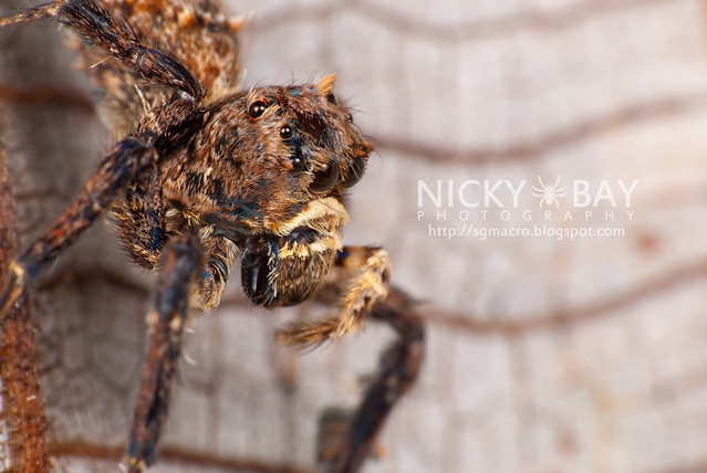 Jumping Spider (Portia sp.) - DSC_5600