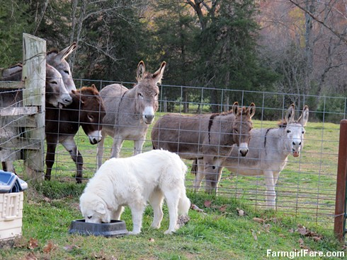 Dinnertime for Daisy, with donkeys (3) - FarmgirlFare.com