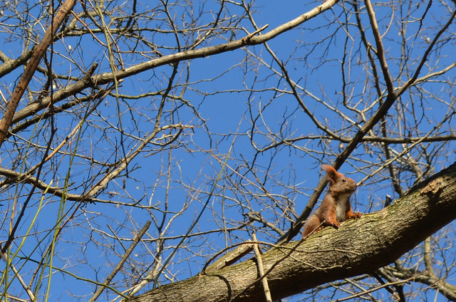 Volkspark Friedrichshain Berlin_red squirrel with big ears in the tree branches