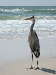 Blue Heron on Saint George Island Beach