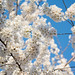 cherry blossoms 0014 - Washington DC - 2014-04-10
