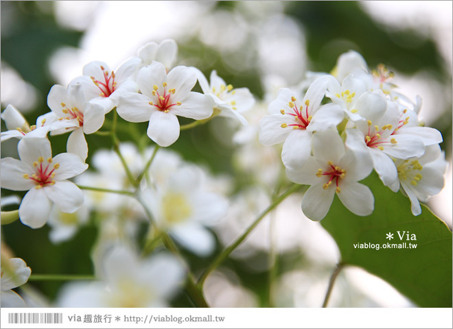 【桐花2014】南投油桐花景點~牛耳石雕藝術渡假村賞桐趣23