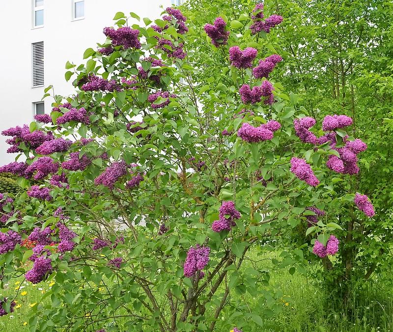 Lilac 15.05 (1)