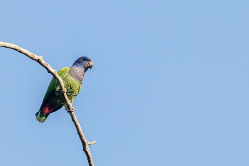 birds venezuela aves yaracuy blueheadedparrot pionusmenstruus cotorracabeciazul bruzual
