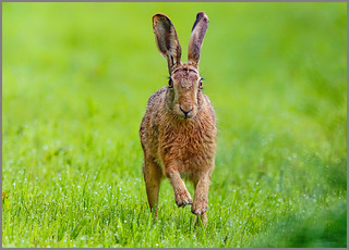 "Brown Hare ""Lepus europaeus"""