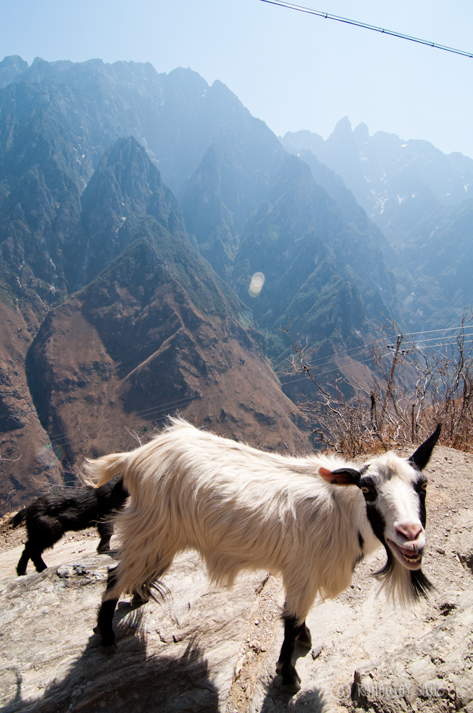 Mountain Goat friends at Tiger Leaping Gorge