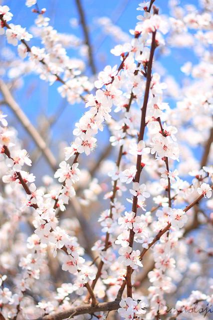bahar dalları_5