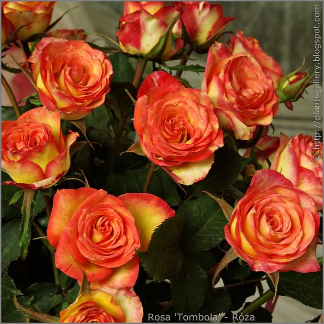 Rosa 'Tombola' - Róża