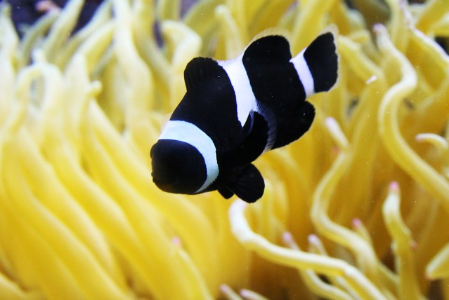 black and white clownfish | Flickr - Photo Sharing!