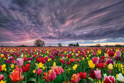 Sunset Over Wooden Shoe Tulip Farm - HDR