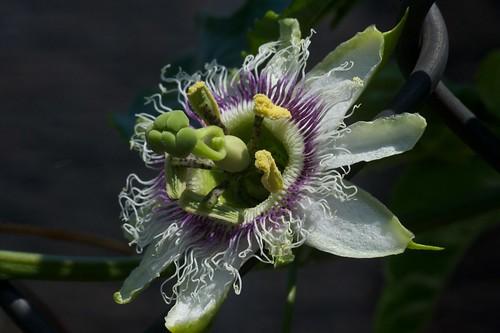 Flor de Maracuyá