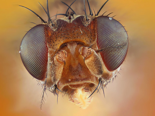 "1mm wide ultramacro headshot fly (dung fly?), chosen as ""Reader's Pic"" by BBC Nature"